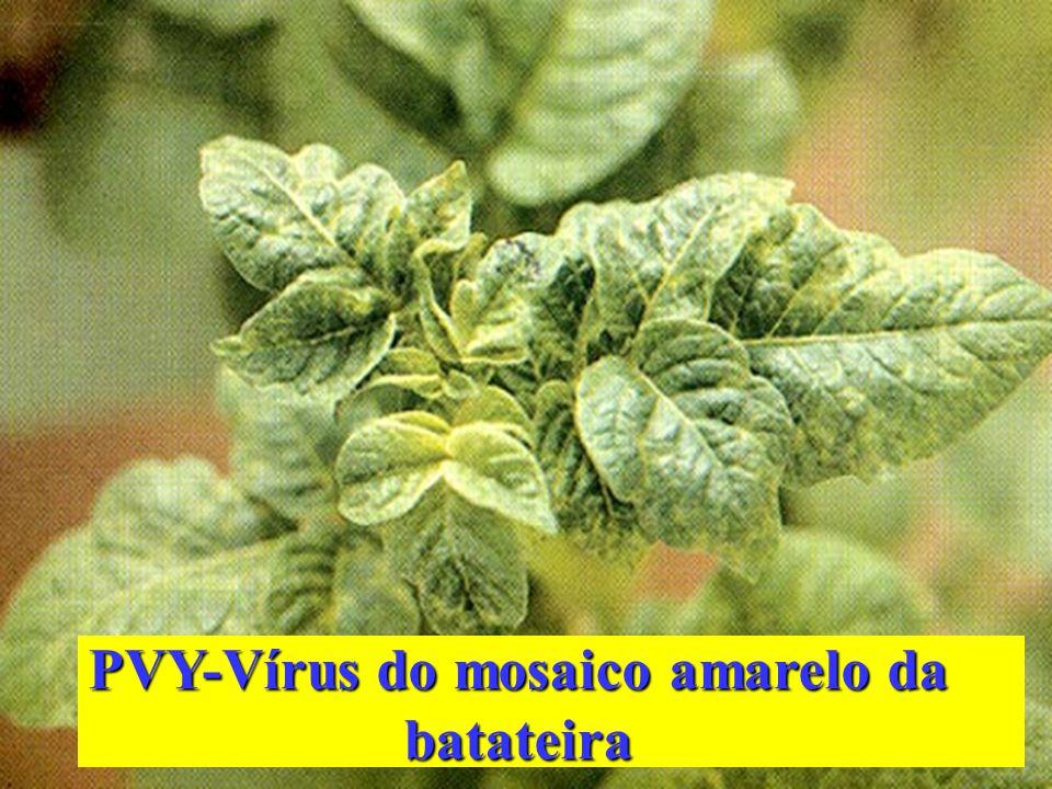 PVY-Vírus do mosaico amarelo da batateira