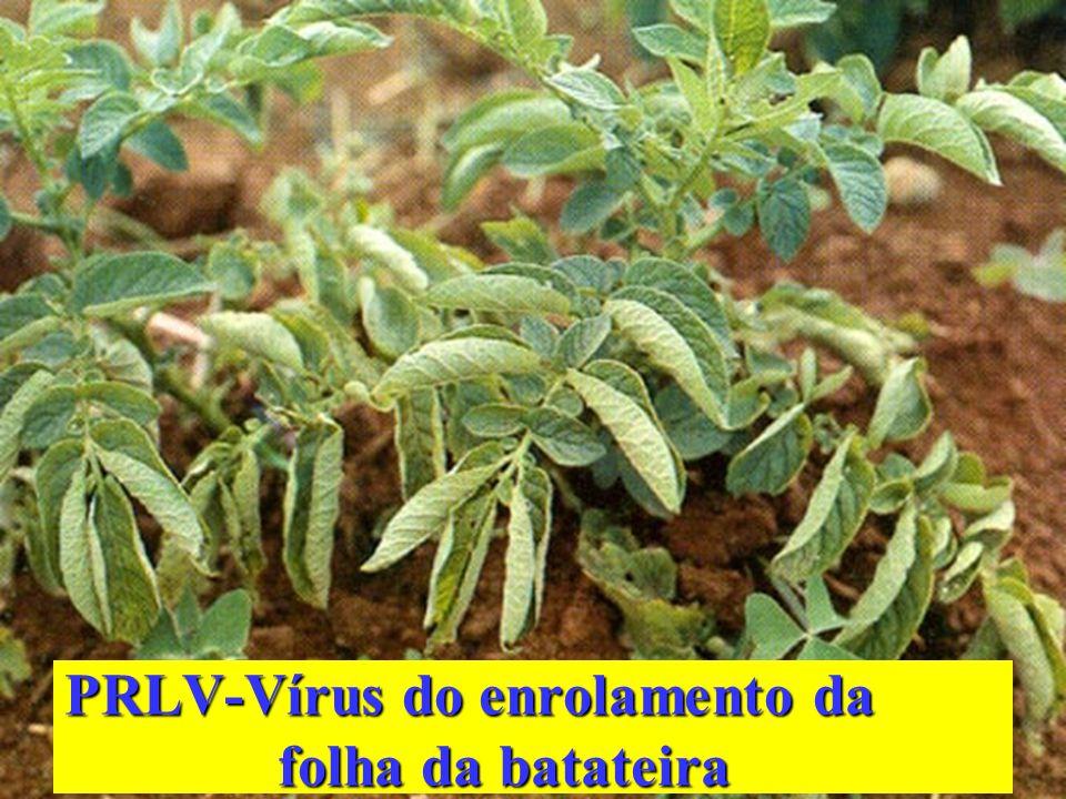 PRLV-Vírus do enrolamento da folha da batateira