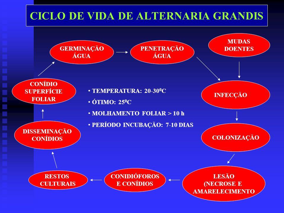 CICLO DE VIDA DE ALTERNARIA GRANDIS GERMINAÇÃO ÁGUA CONÍDIO SUPERFÍCIE FOLIAR DISSEMINAÇÃO CONÍDIOS RESTOS CULTURAIS PENETRAÇÃO ÁGUA INFECÇÃO COLONIZAÇÃO CONIDIÓFOROS E CONÍDIOS LESÃO (NECROSE E AMARELECIMENTO MUDAS DOENTES TEMPERATURA: 20-30 0 C ÓTIMO: 25 0 C MOLHAMENTO FOLIAR > 10 h PERÍODO INCUBAÇÃO: 7-10 DIAS