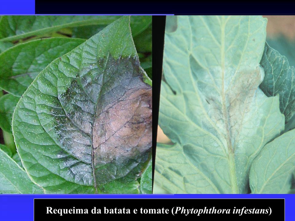 Requeima da batata e tomate (Phytophthora infestans)