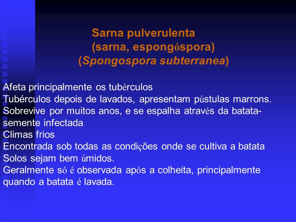 Sarna pulverulenta (sarna, espong ó spora) (Spongospora subterranea) Afeta principalmente os tub é rculos Tubérculos depois de lavados, apresentam p ú stulas marrons.