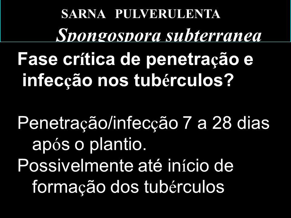 SARNA PULVERULENTA Spongospora subterranea Fase cr í tica de penetra ç ão e infec ç ão nos tub é rculos.