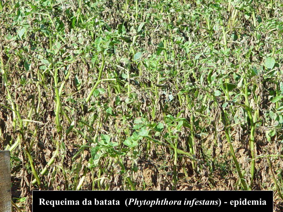 Requeima da batata (Phytophthora infestans) - epidemia