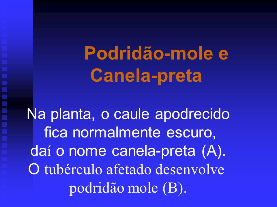 Podridão-mole e Canela-preta Na planta, o caule apodrecido fica normalmente escuro, da í o nome canela-preta (A).