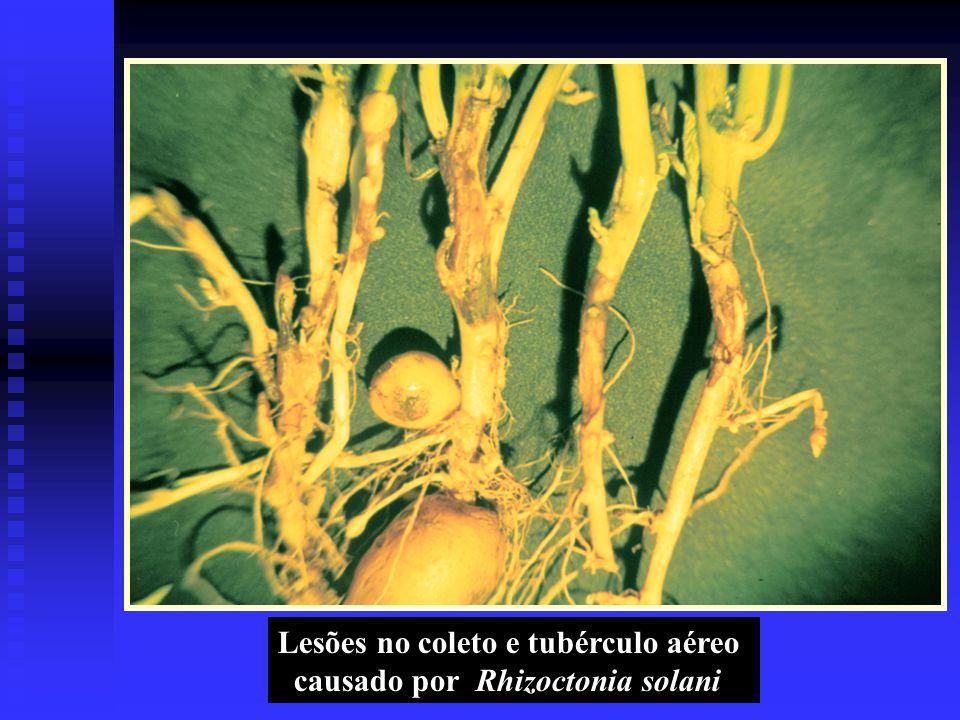 Lesões no coleto e tubérculo aéreo causado por Rhizoctonia solani