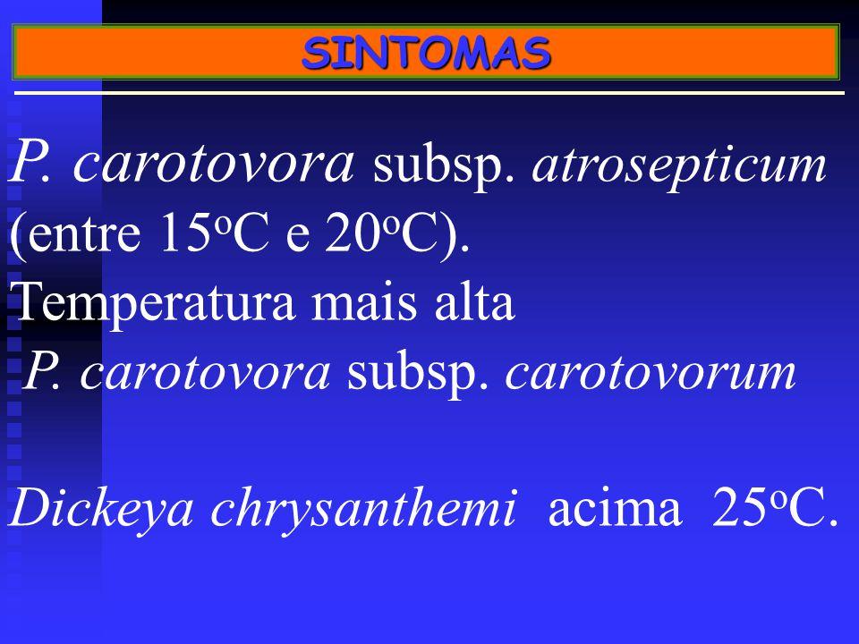 SINTOMAS P.carotovora subsp. atrosepticum (entre 15 o C e 20 o C).