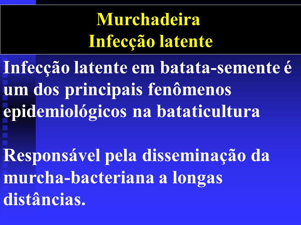 Infecção latente em batata-semente é um dos principais fenômenos epidemiológicos na bataticultura Responsável pela disseminação da murcha-bacteriana a longas distâncias.