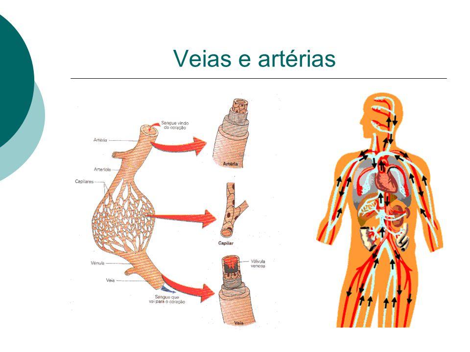 Veias e artérias