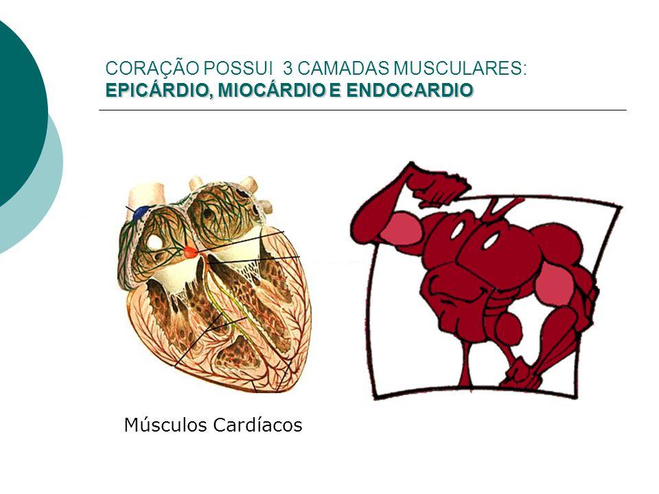 EPICÁRDIO, MIOCÁRDIO E ENDOCARDIO CORAÇÃO POSSUI 3 CAMADAS MUSCULARES: EPICÁRDIO, MIOCÁRDIO E ENDOCARDIO Músculos Cardíacos