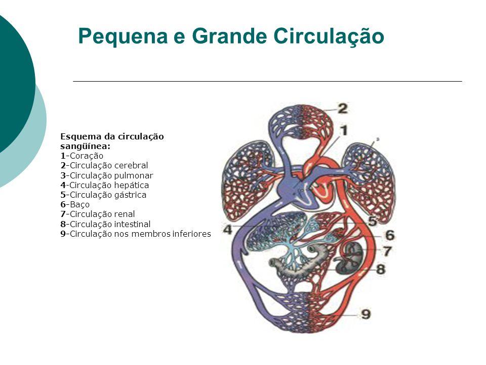 Pequena e Grande Circulação Esquema da circulação sangüínea: 1-Coração 2-Circulação cerebral 3-Circulação pulmonar 4-Circulação hepática 5-Circulação