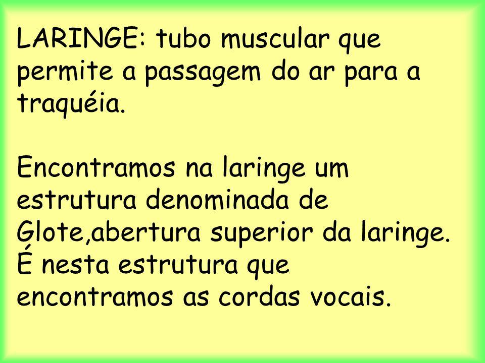 LARINGE: tubo muscular que permite a passagem do ar para a traquéia. Encontramos na laringe um estrutura denominada de Glote,abertura superior da lari