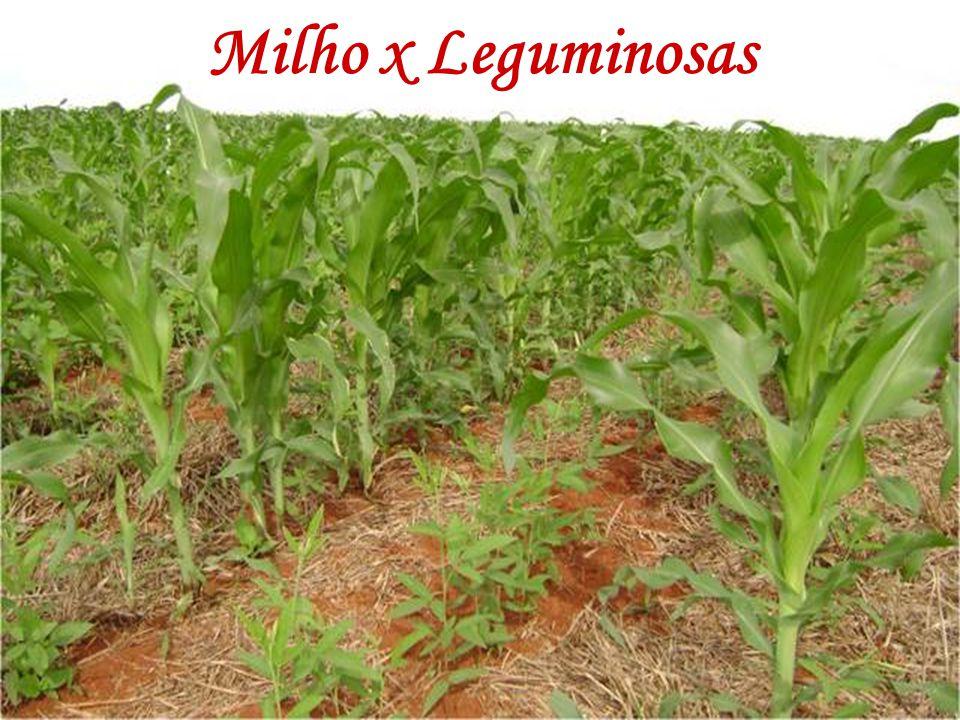 A utilização de uma leguminosa, ao invés de aveia preta, antecedendo o milho, proporcionou redução de 40 a 60% na dose de N (Sá, 1999). Milho x Legumi