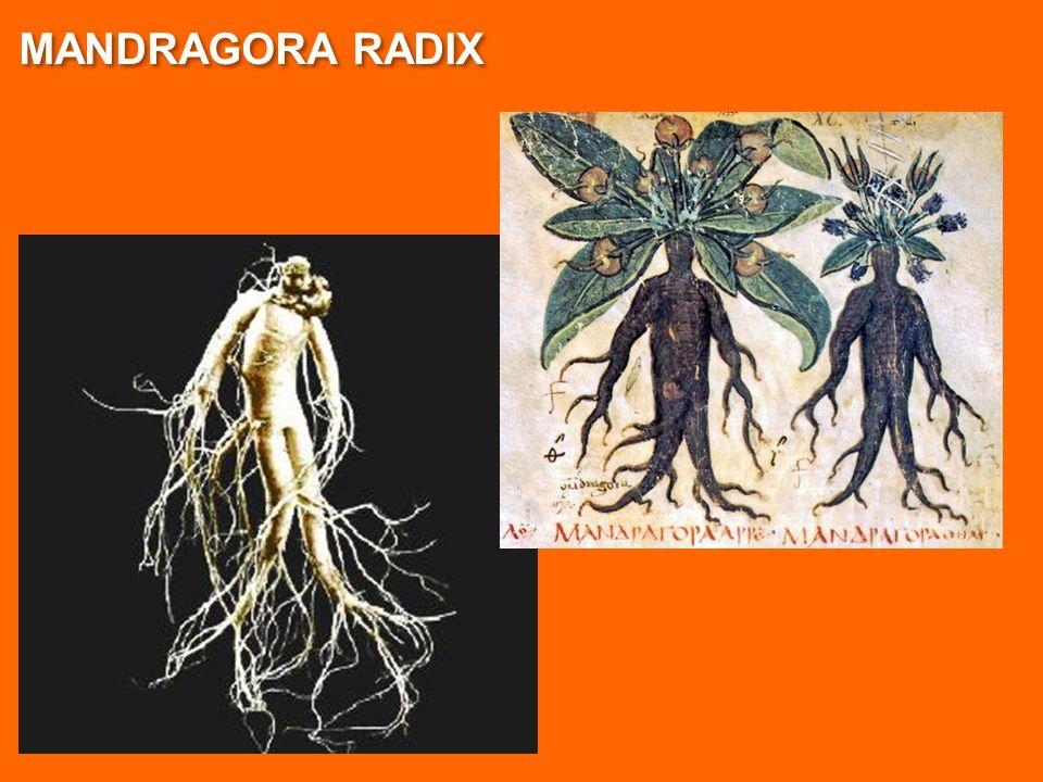MANDRAGORA RADIX