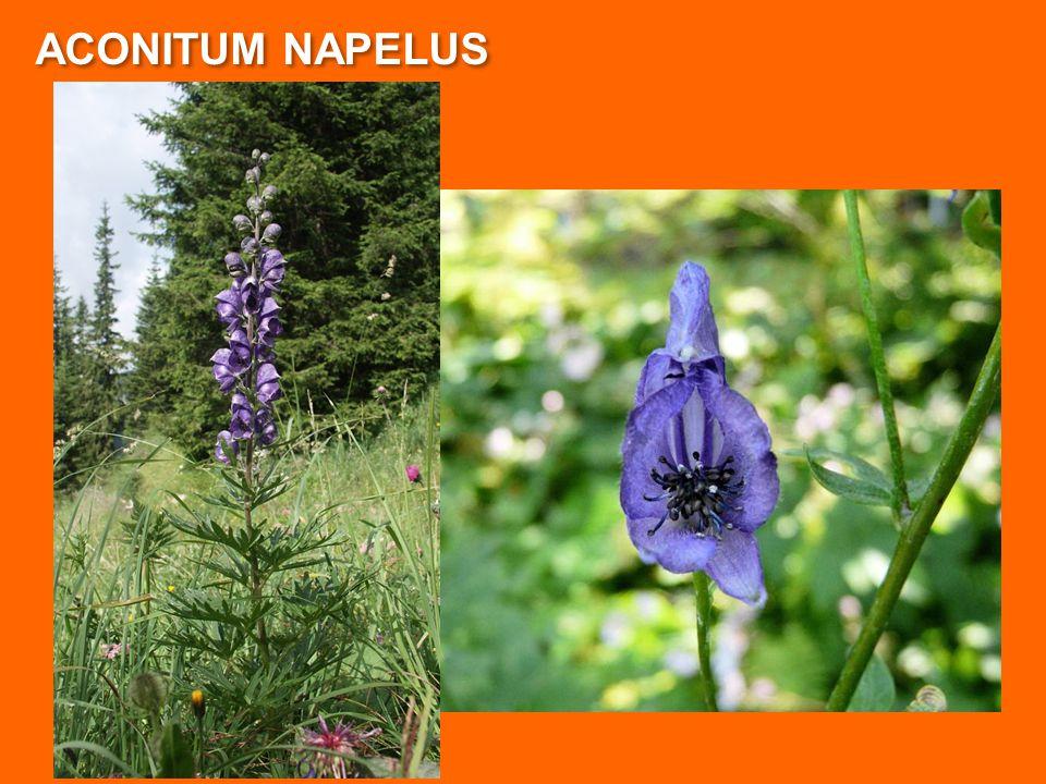 ACONITUM NAPELUS