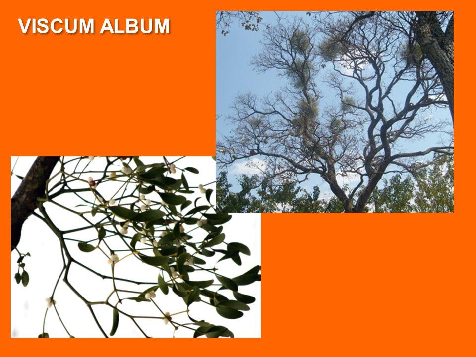 VISCUM ALBUM