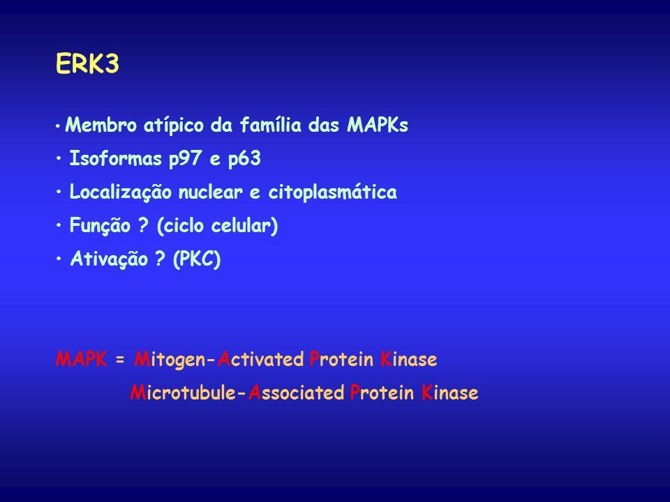 ERK3 Membro atípico da família das MAPKs Isoformas p97 e p63 Localização nuclear e citoplasmática Função .
