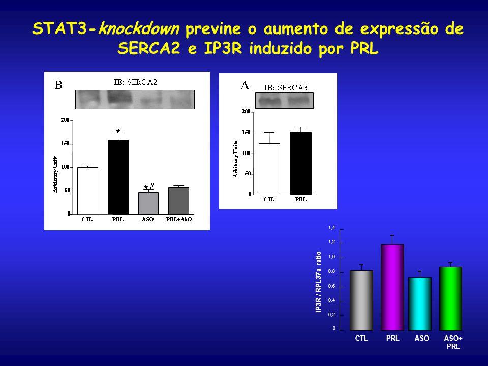 0 0,4 1,0 0,6 1,2 0,2 1,4 0,8 IP3R / RPL37a ratio CTL PRLASO ASO+ PRL STAT3-knockdown previne o aumento de expressão de SERCA2 e IP3R induzido por PRL