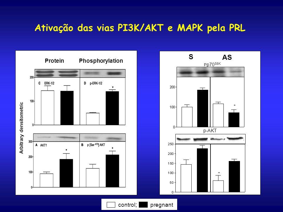 Arbitrary densitometric Protein Phosphorylation S AS p-AKT * * P p70 S6K control ; pregnant Ativação das vias PI3K/AKT e MAPK pela PRL