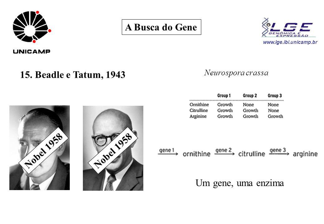 www.lge.ibi.unicamp.br A Busca do Gene 15. Beadle e Tatum, 1943 Neurospora crassa Um gene, uma enzima Nobel 1958