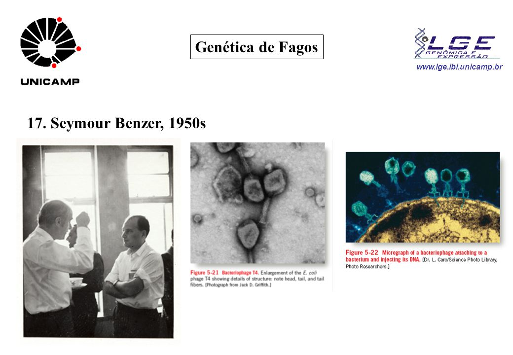 www.lge.ibi.unicamp.br Genética de Fagos 17. Seymour Benzer, 1950s