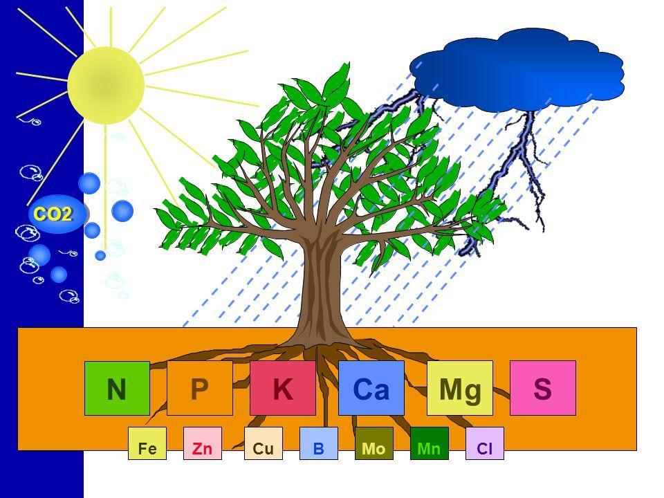ENXOFRE Essencial para a atividade de proteínas Promove o aproveitamento do nitrogênio: cada 9 partes de nitrogênio exige 1 parte de enxofre.