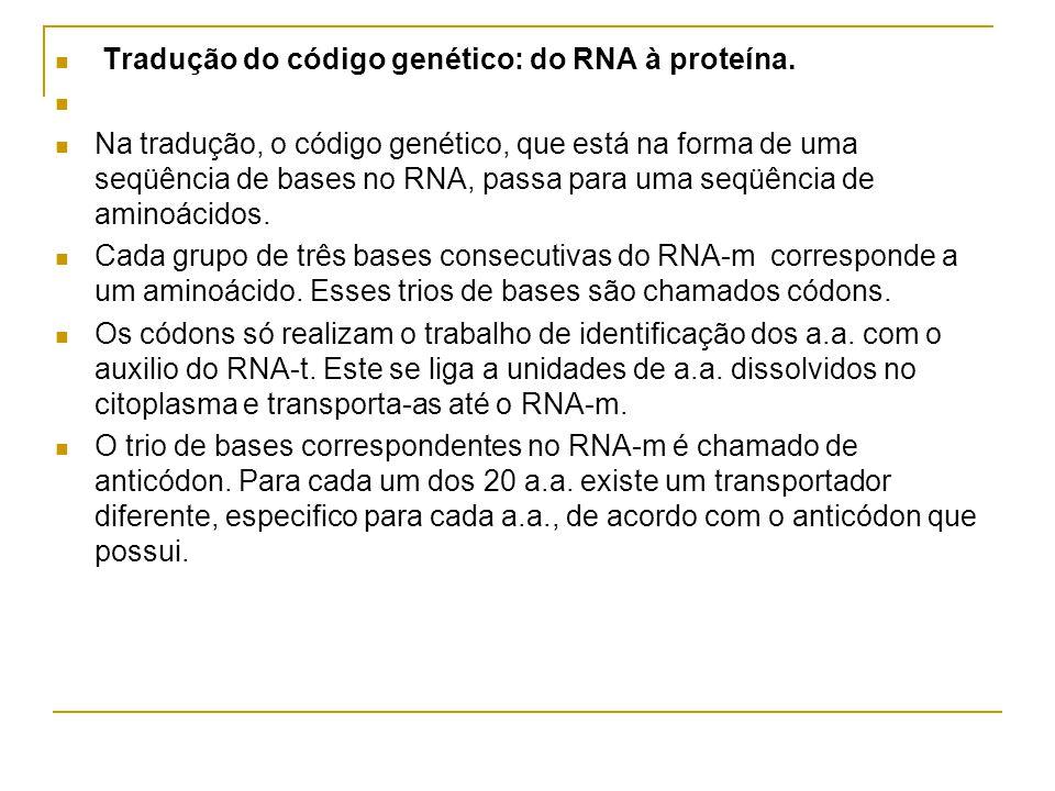 Tradução do código genético: do RNA à proteína.