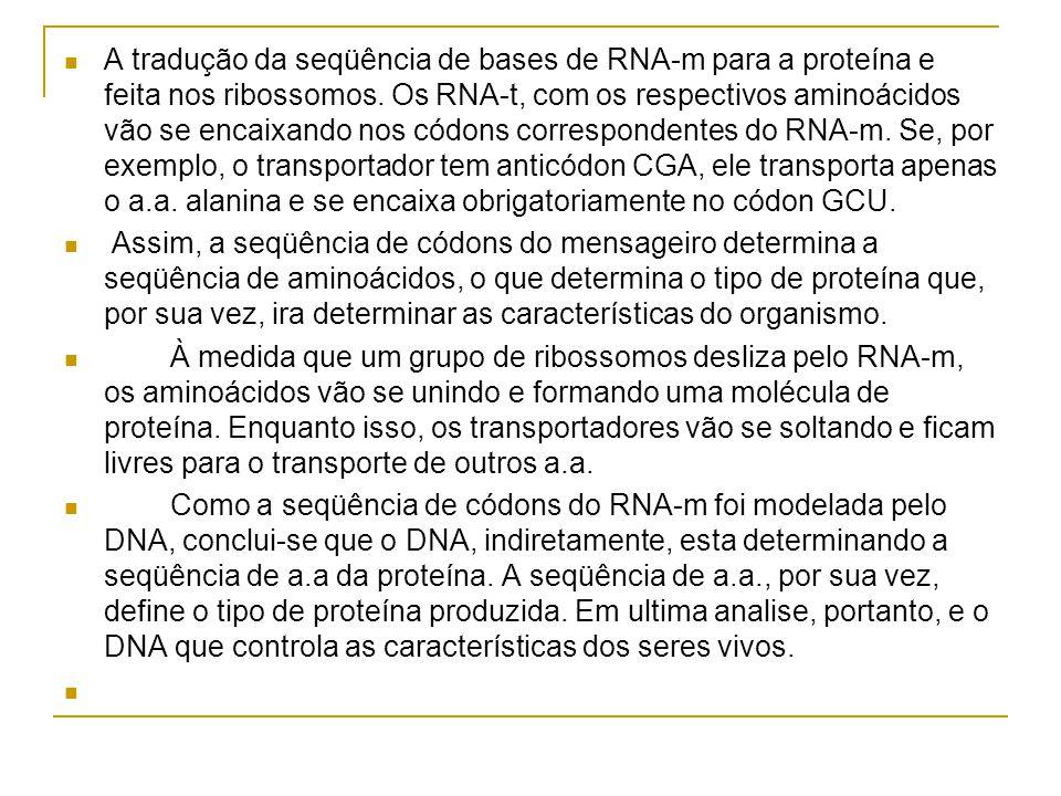 A tradução da seqüência de bases de RNA-m para a proteína e feita nos ribossomos.