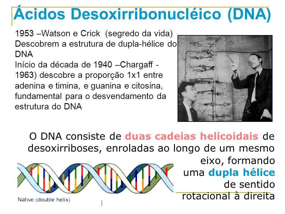 Ácidos Desoxirribonucléico (DNA) 1953 –Watson e Crick (segredo da vida) Descobrem a estrutura de dupla-hélice do DNA Início da década de 1940 –Chargaff - 1963) descobre a proporção 1x1 entre adenina e timina, e guanina e citosina, fundamental para o desvendamento da estrutura do DNA O DNA consiste de duas cadeias helicoidais de desoxirriboses, enroladas ao longo de um mesmo eixo, formando uma dupla hélice de sentido rotacional à direita
