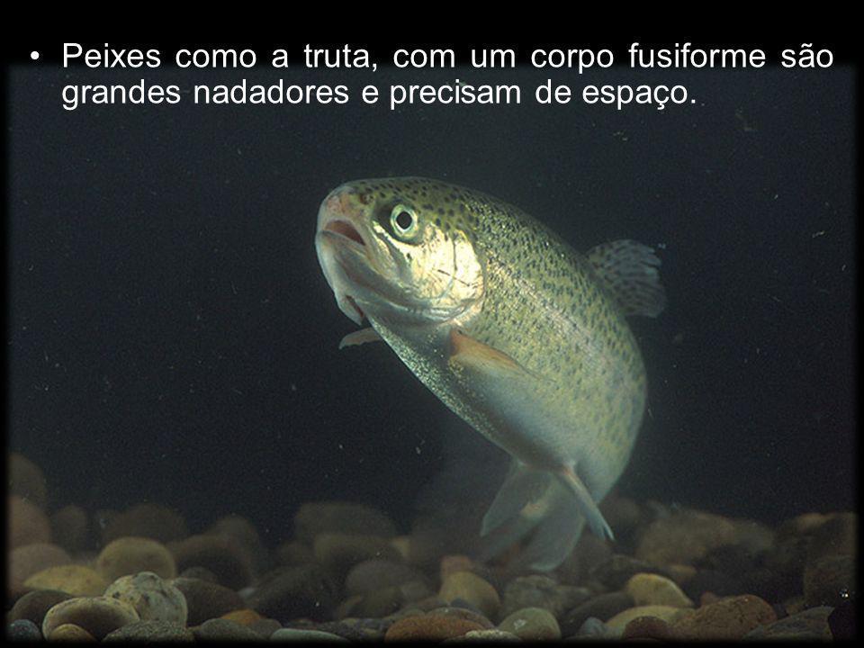 Peixes como a truta, com um corpo fusiforme são grandes nadadores e precisam de espaço.
