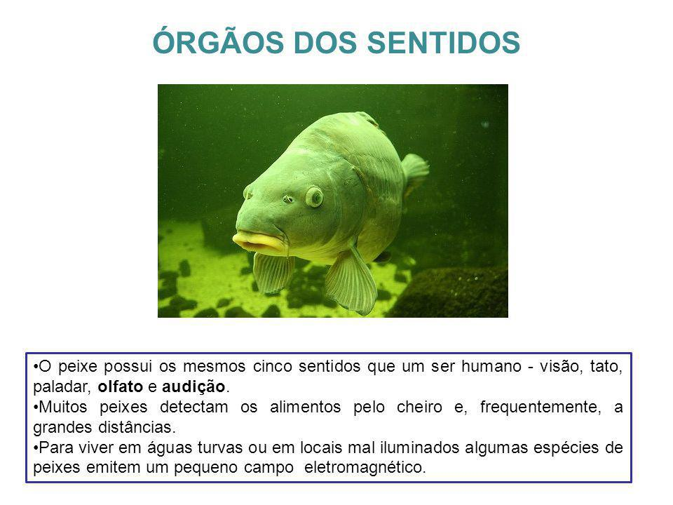 ÓRGÃOS DOS SENTIDOS O peixe possui os mesmos cinco sentidos que um ser humano - visão, tato, paladar, olfato e audição. Muitos peixes detectam os alim