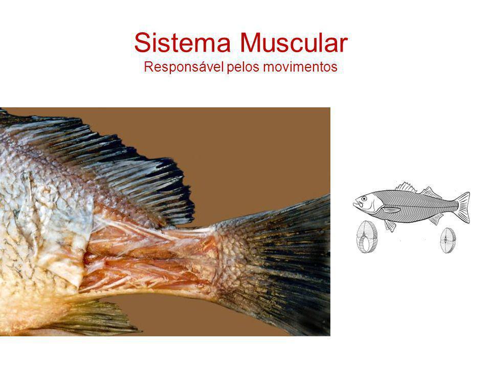 Sistema Muscular Responsável pelos movimentos