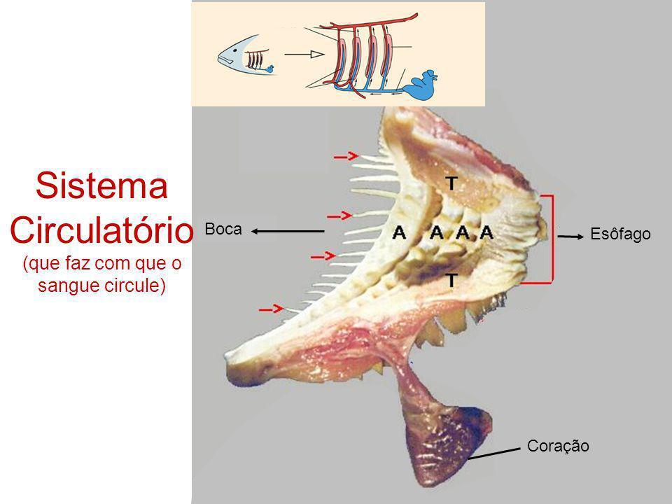 Coração Esôfago Boca Sistema Circulatório (que faz com que o sangue circule)