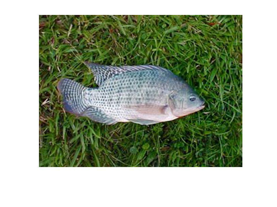 Sistema Reprodutivo (responsável pela multiplicação dos peixes)