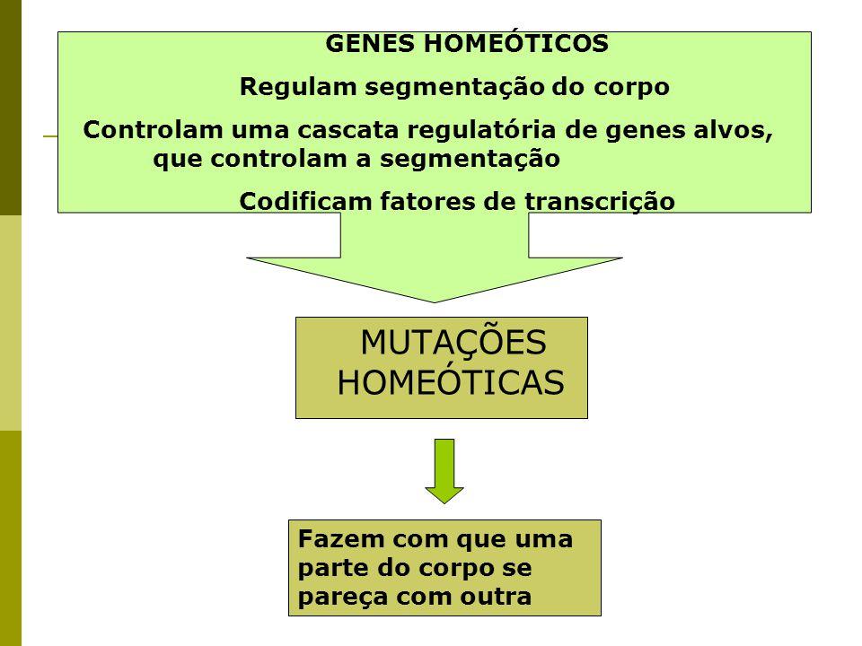 MUTAÇÕES HOMEÓTICAS GENES HOMEÓTICOS Regulam segmentação do corpo Controlam uma cascata regulatória de genes alvos, que controlam a segmentação Codifi