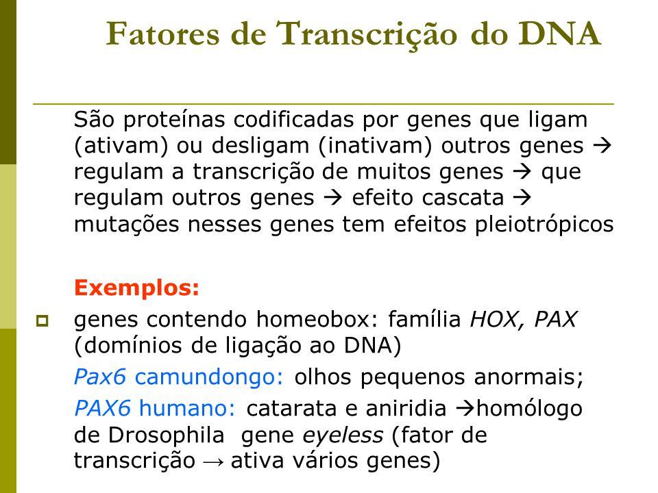 Fatores de Transcrição do DNA São proteínas codificadas por genes que ligam (ativam) ou desligam (inativam) outros genes  regulam a transcrição de mu