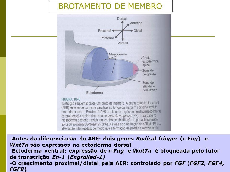 BROTAMENTO DE MEMBRO -Antes da diferenciação da ARE: dois genes Radical fringer (r-Fng) e Wnt7a são expressos no ectoderma dorsal -Ectoderma ventral: