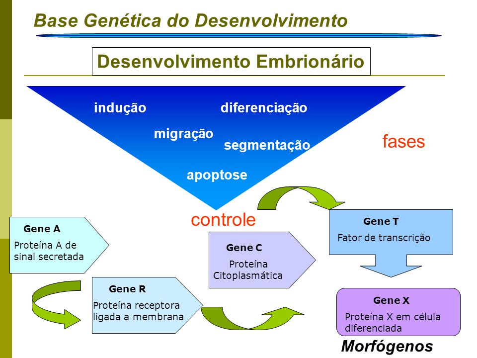 Base Genética do Desenvolvimento Introdução Desenvolvimento Embrionário Morfógenos segmentação indução migração diferenciação apoptose controle fases
