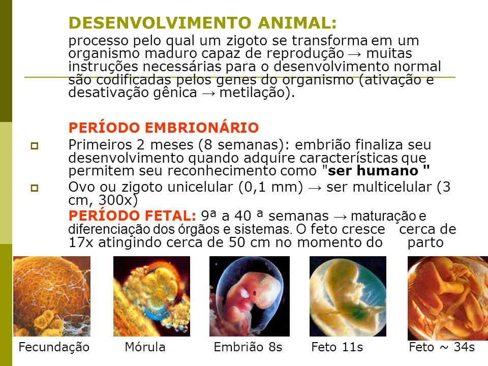 DESENVOLVIMENTO ANIMAL: processo pelo qual um zigoto se transforma em um organismo maduro capaz de reprodução → muitas instruções necessárias para o d