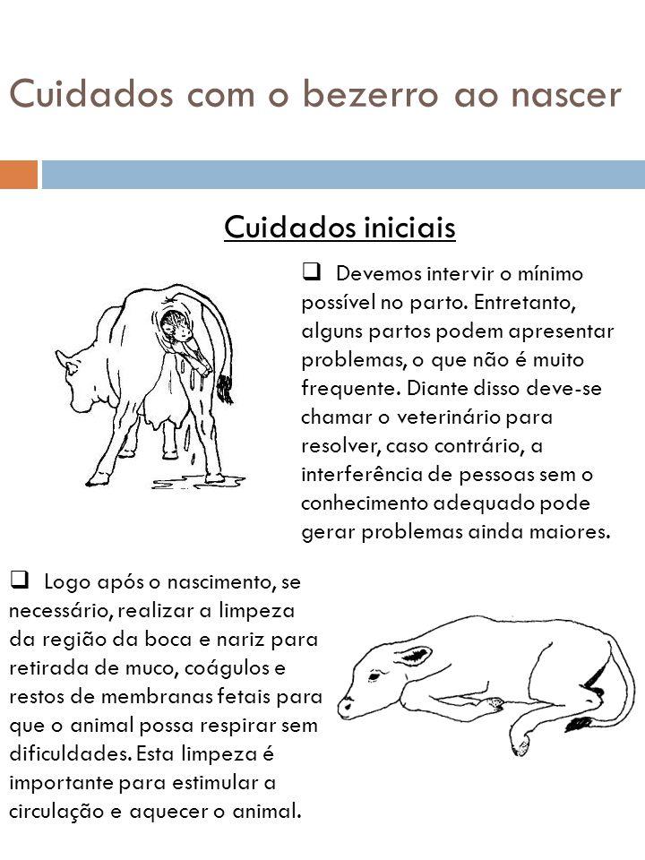 Colostro  É fundamental fazer o bezerro ingerir ou mamar o colostro imediatamente após o nascimento, isto porque o bezerro nasce sem proteção contra infecções e o colostro possui substâncias (anticorpos) que vão protegê-los.