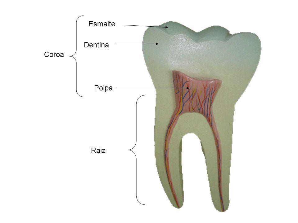 Esmalte Dentina Polpa Raiz Coroa