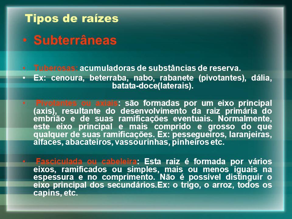 Tipos de raízes Subterrâneas Tuberosas: acumuladoras de substâncias de reserva. Ex: cenoura, beterraba, nabo, rabanete (pivotantes), dália, batata-doc
