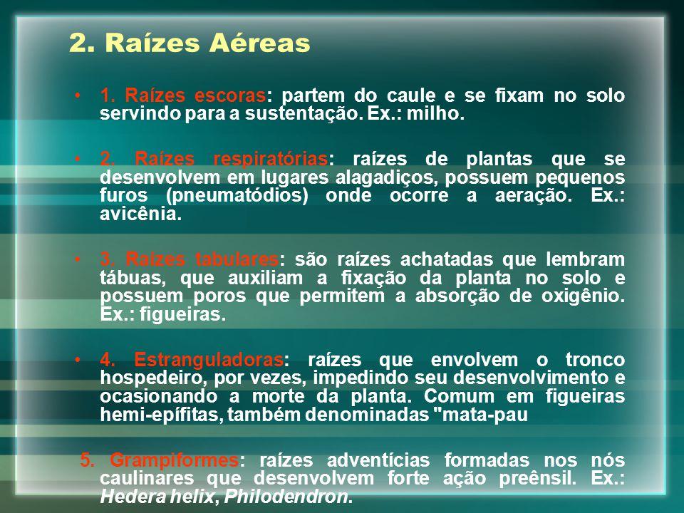 2.Raízes Aéreas 1. Raízes escoras: partem do caule e se fixam no solo servindo para a sustentação.