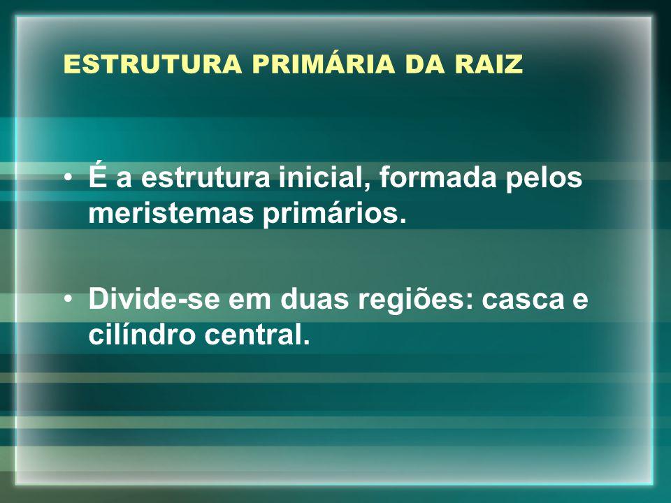 ESTRUTURA PRIMÁRIA DA RAIZ É a estrutura inicial, formada pelos meristemas primários. Divide-se em duas regiões: casca e cilíndro central.