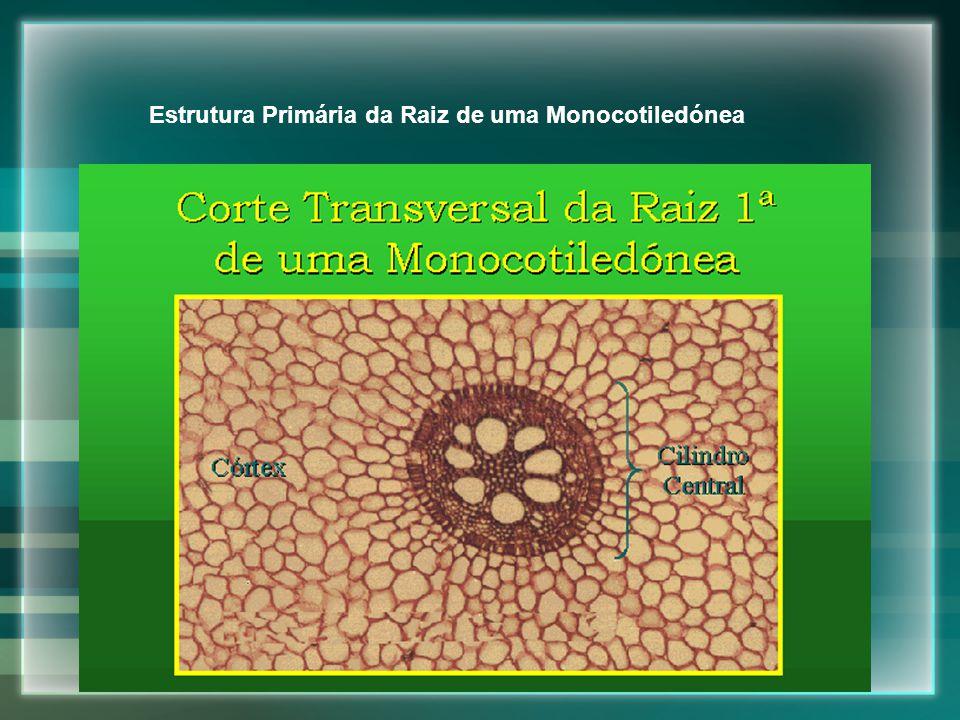Estrutura Primária da Raiz de uma Monocotiledónea