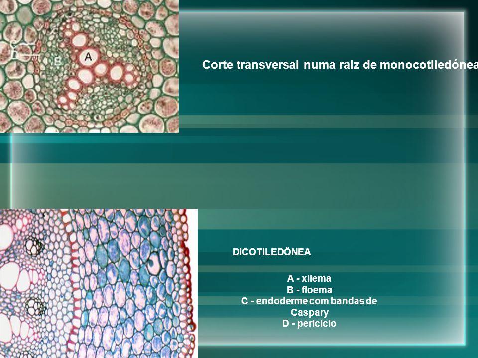 DICOTILEDÔNEA A - xilema B - floema C - endoderme com bandas de Caspary D - periciclo Corte transversal numa raiz de monocotiledónea
