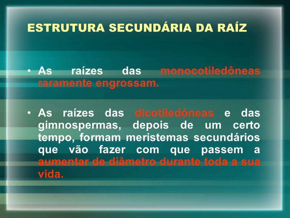 ESTRUTURA SECUNDÁRIA DA RAÍZ As raízes das monocotiledôneas raramente engrossam.