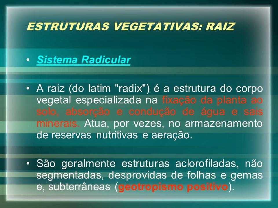 ESTRUTURAS VEGETATIVAS: RAIZ Sistema RadicularSistema Radicular A raiz (do latim radix ) é a estrutura do corpo vegetal especializada na fixação da planta ao solo, absorção e condução de água e sais minerais.