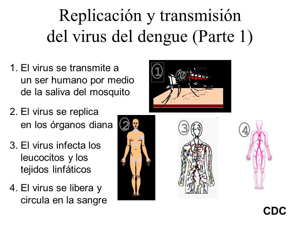Replicación y transmisión del virus del dengue (Parte 1) 1. El virus se transmite a un ser humano por medio de la saliva del mosquito 2. El virus se r