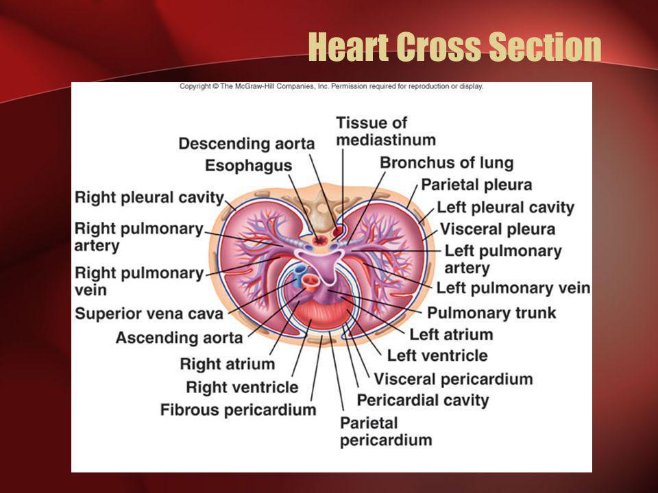 Heart Cross Section