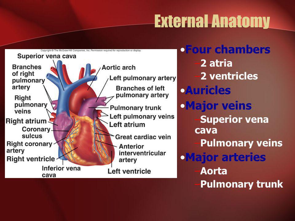 External Anatomy Four chambers –2 atria –2 ventricles Auricles Major veins –Superior vena cava –Pulmonary veins Major arteries –Aorta –Pulmonary trunk